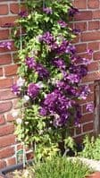 Clematis CASSIS Evipo020